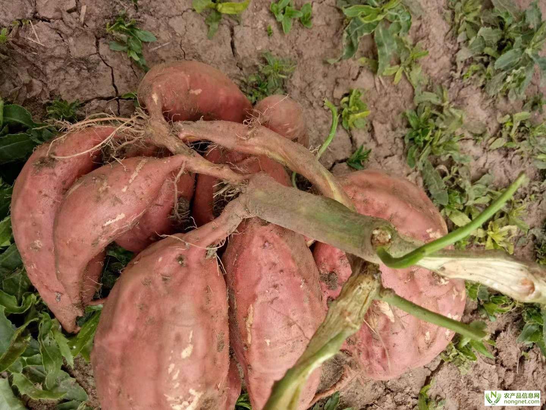[供]大量供应红薯-烟薯25-鲜食烤红薯最佳选择