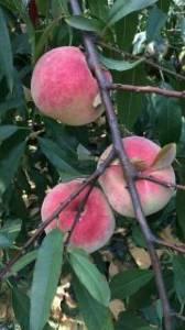 沂水映霜红秋桃大量供应