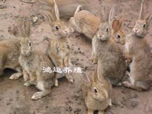 思麻兔价格 思麻兔多少钱一只 思麻兔多少钱一对