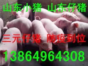 山东仔猪价格13864964308临沂仔猪价格山东仔猪交易价格