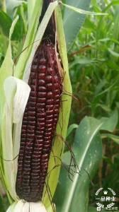 一品种业黑玉米种子