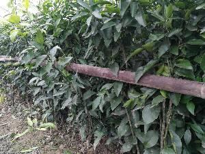 千思农林科技苗木基地优质高产沃柑苗50公分高