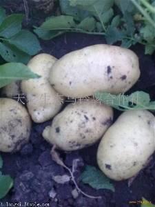 批发销售黑龙江各品种马铃薯种子及黄心黄肉土豆商品薯