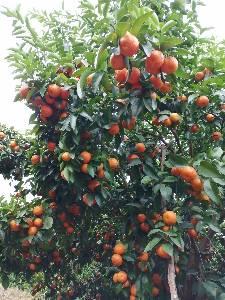 广西贺州10万斤砂糖橘上市,7年果树,欢迎各地老板发财