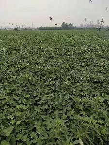 500亩红薯和红薯秧接受预定,速度来电