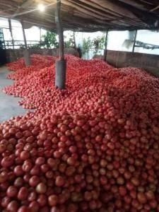代收各类蔬菜,主要代收西红柿(番茄)有黄金地段场地