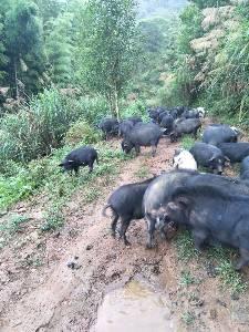 供应藏香活猪仔猪长沙市区内包送上门代为当面屠宰