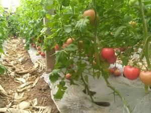 大量毛粉西红柿上市 !