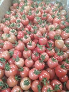 寿光古城圣女果生产基地 常年经营大中小果樱桃西红柿代办