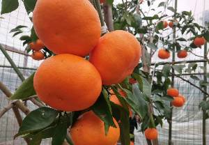 湖南千思明日见晚熟柑橘苗基地 春见升级品种明日见苗