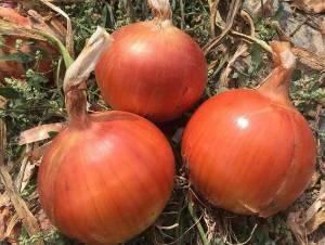 低价急售大量洋葱:品质优、价格低、耐储藏。