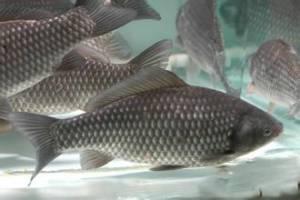 鲫鱼价格花鲢价格草鱼价格青鱼价格鲤鱼价格