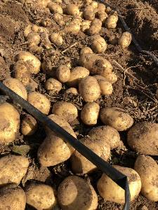 内蒙古察右中旗 大量销售土豆,质量优,品相好