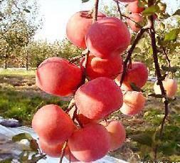 中国梨果之乡—延长晚熟苹果