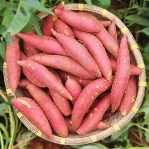 陕西板栗红薯现挖现发沙地种植