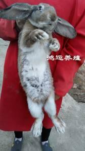纯种大流士兔子价格 大流士兔子多少钱一只 大流士兔子苗价格