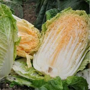 供应白菜,绿色健康食品