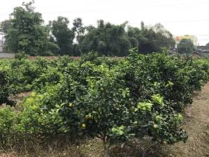 四川金秋砂糖橘苗 成活率高 价格合理 量大从优 - 砂糖桔果苗价格