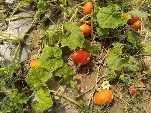 旱地南瓜,100亩,估产20万公斤,品质优良,急售