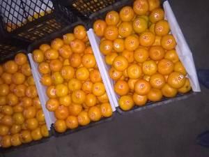 宜昌特早熟蜜桔,脐橙大量供应