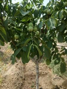 冠核一号核桃树  8518小母树