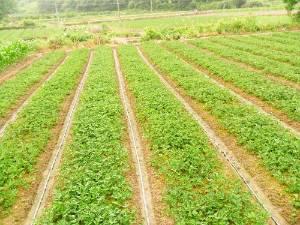 大量优质草莓苗待售,价格优惠!
