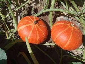 自家产现摘红皮南瓜,做菜、点心、皆可!量大!