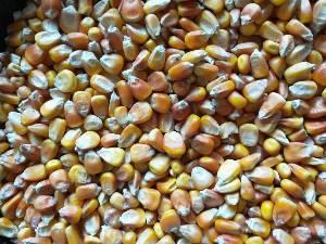 采购大量优质碎米、糯米、大米、玉米