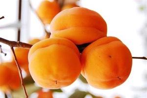 大量出售磨盘柿子现货,信誉第一,长期合作,两到四毛,已经囤积
