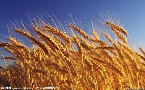 采购大量优质小麦、大米、玉米、大豆