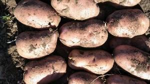 供应土豆,供应围场和内蒙基地荷兰十四