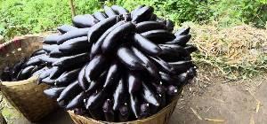 大量供应黑紫色长茄和二青条辣椒