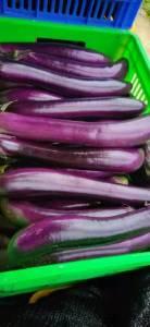 大量出售新鲜紫长茄子,量大从优