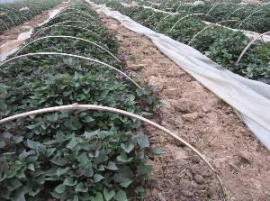 板栗红薯苗