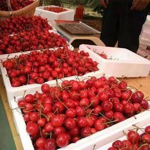 山东枣庄露天大樱桃大量上市啦