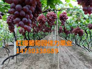 红提葡萄价格趋势红提葡萄1斤半以上大串