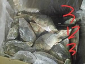 大量直供冷冻鳜鱼桂花鱼