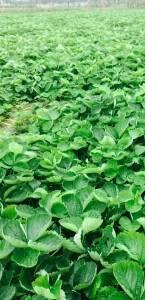 甜查理草莓苗20万株,急售!0.1元一棵。