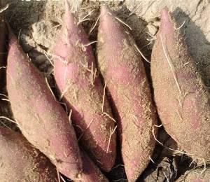 日本板栗薯上市