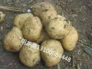 批发销售黑龙江马铃薯种子及三两以上马铃薯商品薯