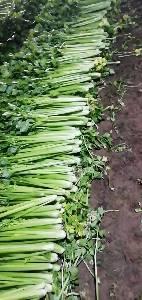 优质芹菜大量出售