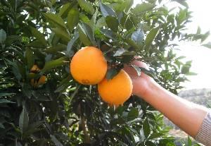 赣南脐橙世界闻名脐橙基地脐橙之乡