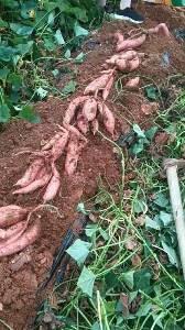 自栽烟薯25,30亩,三年的荒地初次耕种,人工除草,品质好。